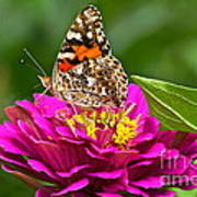 Painted Lady With Zinnia Poster