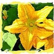 Painted Squash Blossoms Poster