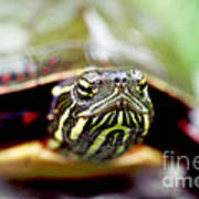 Painted Turtle Poster