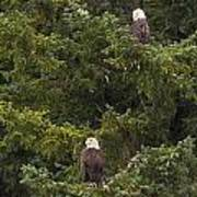 Pair Of Bald Eagles Poster