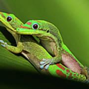 Pair Of Mating Green Geckos Poster