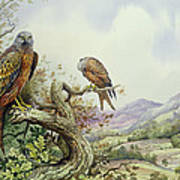 Pair Of Red Kites In An Oak Tree Poster by Carl Donner