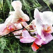Pale Pink Phalaenopsis Orchids Poster