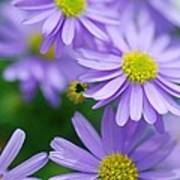 Pastel Purple Aster Poster