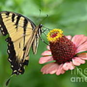 Pale Swallowtail And A Halo Poster