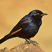 Pale-winged Starling Poster