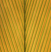 Palm Leaf Showing Midrib And Veination Poster