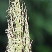 Pampas Grass 02 Poster
