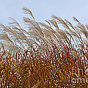 Pampas Grass In The Wind 1 Poster