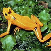 Panamanian Golden Frog Atelopus Zeteki Poster