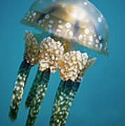 Papuan Jellyfish Mastigias Papua, Palau Poster