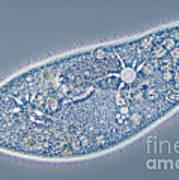 Paramecium Caudatum, Contractile Poster by M. I. Walker