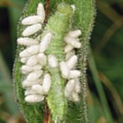 Parasitic Wasp Larvae On Caterpillar Poster