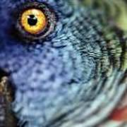 Parrot, Close Up Poster