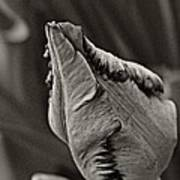Parrot Tulip In Black And White Poster