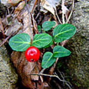 Partridge Berry Berry - Mitchella Repens Poster