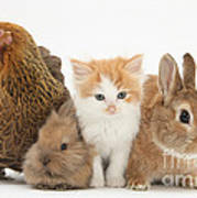 Partridge Pekin Bantam With Kitten Poster