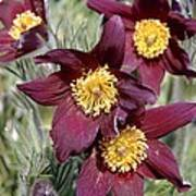 Pasque Flower (pulsatilla Vulgaris) Poster
