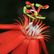 Passiflora Vitifolia - Scarlet Red Passion Flower Poster