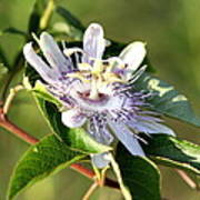 Passion Flower - May Pop Bloom Poster