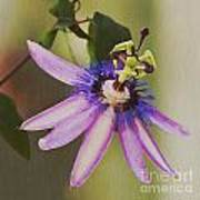 Passion Flower Poster by Artist and Photographer Laura Wrede