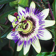Passion Flower (passiflora Sp.) Poster