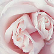 Passion For Flowers. One Rose Two Hearts Poster