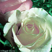 Pastel Pink And White Rose Poster
