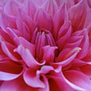 Pastel Pink Dahlia Poster