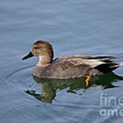 Peaceful Reflection- Female Gadwall Duck Swimming At The Pond Poster