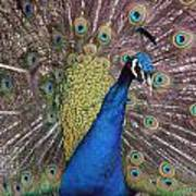 Peacock - 0011 Poster