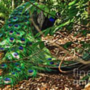 Peacock Hiding Poster