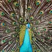 Peacock Plumage Feathers Poster