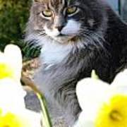 Peanut The Cat And Jonquils Poster