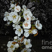 Pear Blooms And Tree Poster