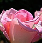 Pearl Pink Petals Poster