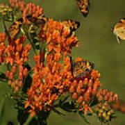 Pearly Crescentpot Butterflies Landing On Butterfly Milkweed Poster