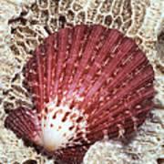 Pecten Scallop Shell Poster