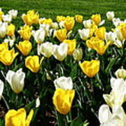 Peddler's Tulip 2012 3 Poster