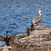 Pelican And Cormorants Poster