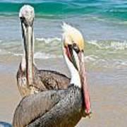 Pelican Pair Poster