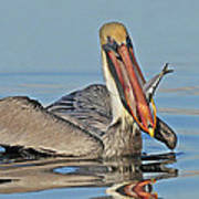 Pelican With Catch Poster