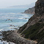 Pelicans Colony Flying Over Cliff Poster