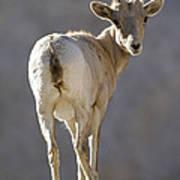 Peninsular Bighorn Sheep Ovis Poster