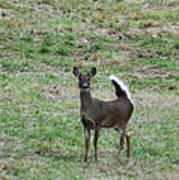 Pennsylvania White Tail Deer Poster