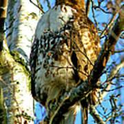 Perched Hawk Poster