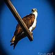 Perching Osprey Poster