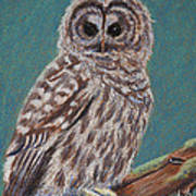 Perching Spotted Owl Poster by Thomas Maynard