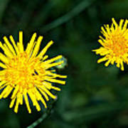 Perennial Sow-thistle Poster