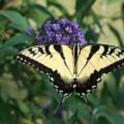 Perfectly Aligned Butterfly On Butterfly Bush Poster